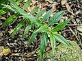Veronica flavida in Christchurch Botanic Gardens 01.jpg