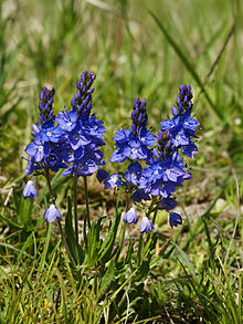 Veronica prostrata, for which the color veronica is named
