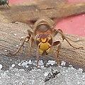 Vespa crabro and black ant (Lasius fuliginosus) - sršeň a mravenec.jpg