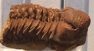 <i>Viaphacops</i> genus of arthropods (fossil)