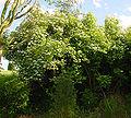 Viburnum opulus A.jpg
