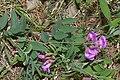Vicia americana 5828.JPG