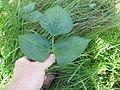 Vigna unguiculata leaf6 (10737276394).jpg