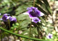 Viola banksii.jpg