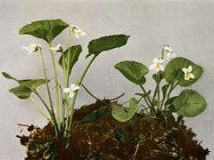 Viola blanda WFNY-139B.png