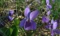 Viola odorata (3443815278).jpg
