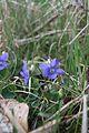 Viola riviniana-DS1.jpg