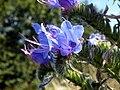 Viper's Bugloss (Echium vulgare) (24308467151).jpg