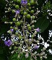 Vitex trifolia.jpg