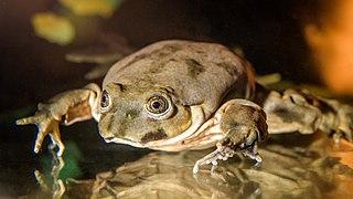 <i>Telmatobius culeus</i> Species of amphibian