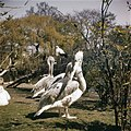 Vogels, Pelikanen, Bestanddeelnr 254-7069.jpg
