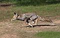Vulpes vulpes at Eshel HaNasi, israel.jpg