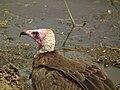 Vulture in Tanzania 3112 Nevit.jpg