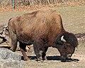 Waldbison Bison bison athabascae Tierpark Hellabrunn-18.jpg