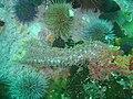 Walking anemone at Partridge Point DSC09185.JPG