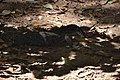 Water monitor bayawak (9165651446).jpg