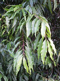 Waterhousea floribunda leaves.JPG