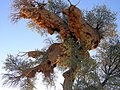 Weaver Bird's Nests-2.jpg