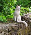 Weiße Katze auf Mauer Mai 2012.JPG