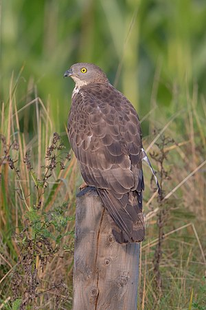 Wespenbussard European honey buzzard Pernis apivorus.jpg