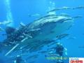 Whaleshark KohChang6.png