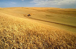 English: Wheat harvest on the Palouse, Idaho, USA