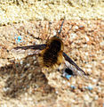 Which Bee Fly? (16531736394).jpg
