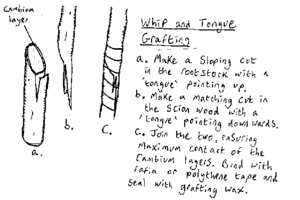 Diagram Ilrating The Whip And Tongue Grafting Technique