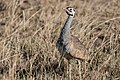 White-bellied Bustard (27561337204).jpg