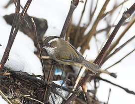 White-browed Fulvetta.jpg