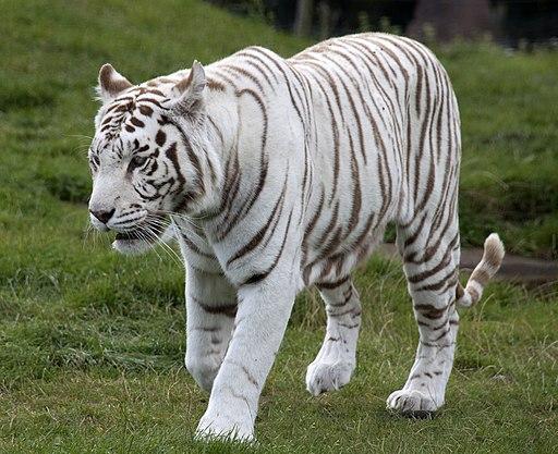 White Tiger 6 (3865790598)