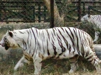 White Tiger In Lucknow Zoo 1.jpg