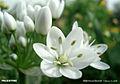 White flowers1.jpg