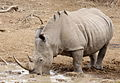 White rhinoceros or square-lipped rhinoceros, Ceratotherium simum. (17163409510).jpg