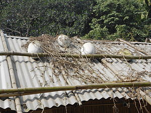 Chokapara - Some mature white gourds on the roof of a house in Chokapara