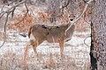 Wichita Mountains White-tailed deer.jpg