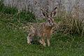 Wild Rabbit (454124460).jpg
