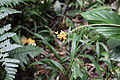 Wild ginger lily from Mt. Kemriri (8188145718).jpg