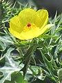 Wild indian yellow flower.jpg