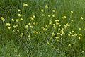 Wild mustard - Sinapis arvensis 01.jpg
