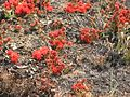 Wildflower in a burned field Londuimbali Angola.jpg