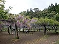 Wisteria in Wake Shrine at Kirishima.JPG