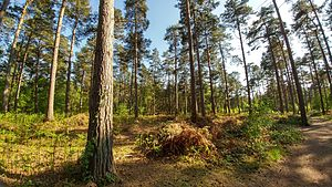 Wokefield - Wokefield Common - Pine Forest May 2017