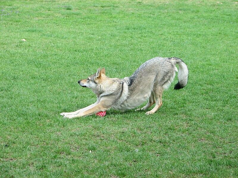 Perro lobo jugando