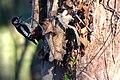 Woodpecker (5344162024).jpg