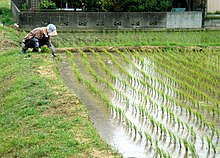 Working in the Rice Paddies in May.jpg