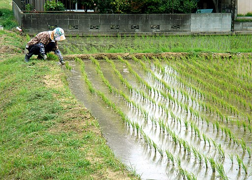 Working in the Rice Paddies in May