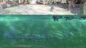 File:Wuppertal - Zoo - Spheniscus demersus 03 (1) ies.webm