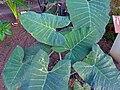 Xanthosoma violaceum (DITSL).jpg