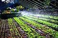 Yale Farm late summer hoophouse irrigation.jpg